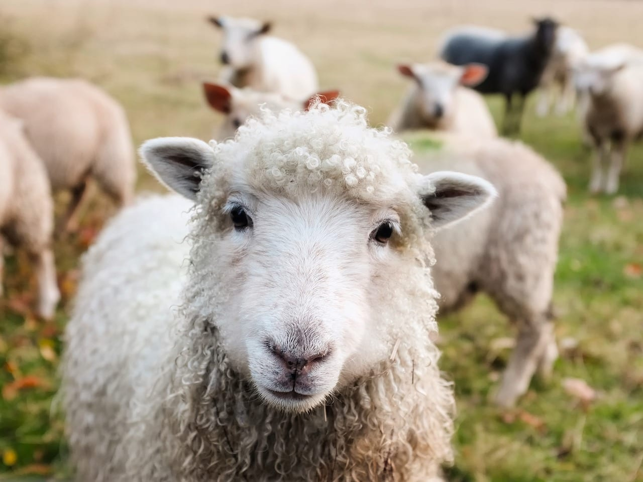 "Bedding made from wool may be a ""natural"" choice, but that doesn't mean sheep don't suffer during the collection process. Choose vegan bedding instead!"