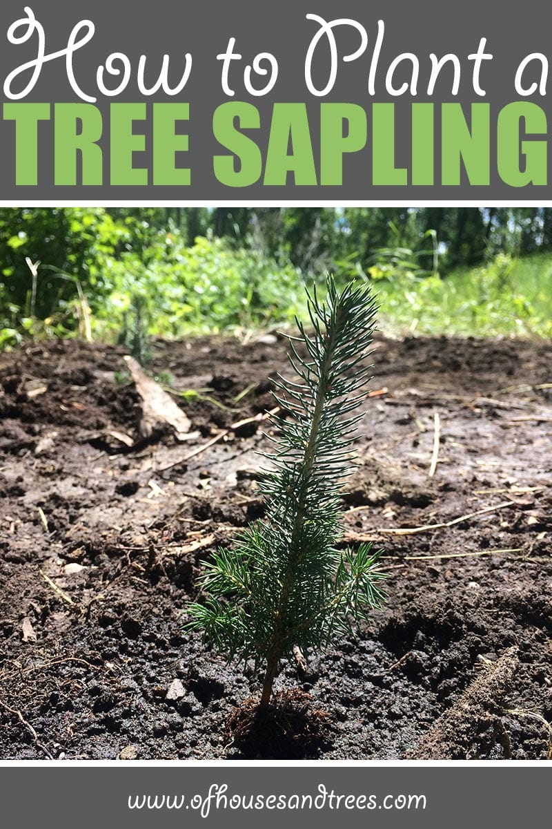 Planting a Sapling | There's nothing like planting a sapling. They're so tiny, it's almost unimaginable one day they'll be towering trees. But with proper care - they will!