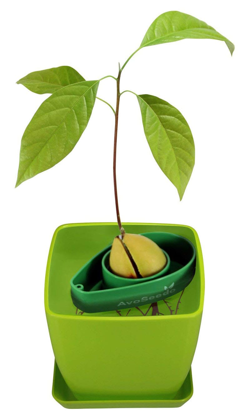 Learning how to grow an avocado tree is one of 10 current Pinterest trends that slant toward a truly inspiring ambition - being more green! Hop aboard the trend with an avocado pit, a jar and some water. Or streamline the process with a DIY avocado tree kit.
